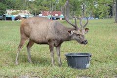 I cervi si alimentano felicemente gli esseri umani nel bacino Fotografia Stock Libera da Diritti