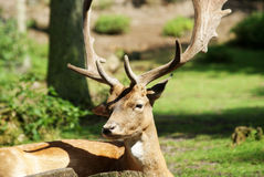 I cervi si chiudono su nella foresta Immagini Stock Libere da Diritti