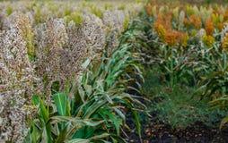 I cespugli cereale e le piante foraggere delle varietà differenti di sorgo maturano e si sviluppano sul campo in una fila all'ape Immagini Stock Libere da Diritti