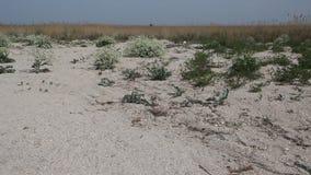 I cespugli del crambe maritima sulla costa del mare di Azov stock footage
