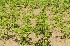 I cespugli della patata sono nel campo Immagine Stock Libera da Diritti