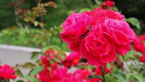 I cespugli di belle rose di fioritura di estate parcheggiano video d archivio