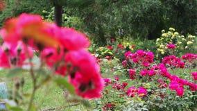 I cespugli di belle rose di fioritura di estate parcheggiano stock footage