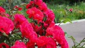I cespugli di belle rose di fioritura di estate parcheggiano archivi video