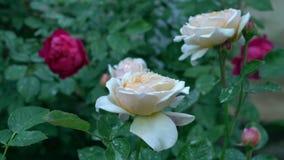 I cespugli di bello beige e del color scarlatto delle rose in campagna fanno il giardinaggio Estate verde del fondo della natura archivi video