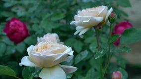 I cespugli di bello beige e delle rose rosse in campagna fanno il giardinaggio Estate verde del fondo della natura stock footage