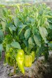 i cespugli di giallo/di peperone verde si sviluppa nel campo file di verdure Agricoltura, agricoltura Paesaggio con terreno agric immagine stock