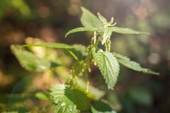I cespugli di un'ortica con un ragno nella foresta abbagliano nell'angolo superiore sinistro fotografia stock libera da diritti