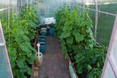 I cetrioli ed il pepe si sviluppano nella serra Fotografia Stock Libera da Diritti
