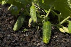 I cetrioli si sviluppano nel giardino al cottage Immagine Stock