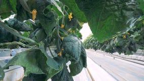 I cetrioli si sviluppano nelle file in una serra, fine su I cetrioli maturi sono nei letti del metallo ad un'azienda agricola video d archivio
