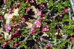 I chaenomeles fioriscono nelle montagne della riserva di biosfera di Shouf, Libano fotografia stock