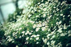 I chiari precedenti del fiore della margherita, fuoco selettivo fotografie stock