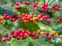 I chicchi di caffè maturi rossi sulla piantagione coltivano Fotografia Stock Libera da Diritti