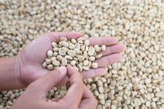 i chicchi di caffè scelti della mano del primo piano producono dall'agricoltura garde Fotografia Stock