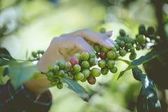 I chicchi di caffè verdi e rossi da questi fincas dell'alta montagna sono scrupoloso mano selezionata poichè maturano Fotografia Stock