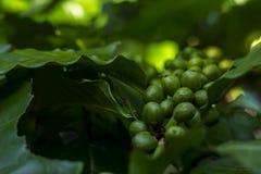 I chicchi di caffè verdi si sviluppano alla zona tropicale Fotografie Stock Libere da Diritti