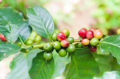 I chicchi di caffè freschi in caffè pianta l'albero Fotografia Stock Libera da Diritti