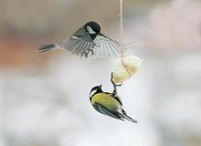 I chickadees degli uccelli hanno atterrato sull'alimentatore per il bacon e la lotta fotografia stock libera da diritti