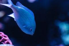 I chomis blu-verde pescano, viridis di Chromis, ha un colore verde pallido Fotografia Stock Libera da Diritti
