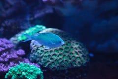 I chomis di Vanderbilts di verde blu pescano, vanderbilti di Chromis Immagini Stock