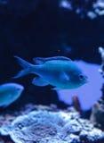 I chomis di Vanderbilts di verde blu pescano, vanderbilti di Chromis Immagine Stock Libera da Diritti