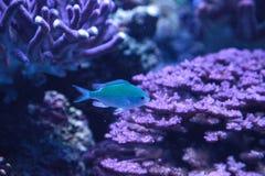I chomis di Vanderbilts di verde blu pescano, vanderbilti di Chromis Immagine Stock