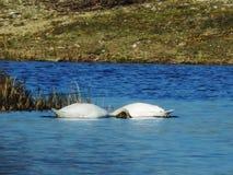 i cigni è giocanti e nuotanti nel lago fotografie stock