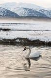 I cigni di tundra (columbianus del Cygnus) riposano sul fiume coperto di ghiaccio Immagini Stock Libere da Diritti