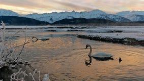 I cigni di tundra (columbianus del Cygnus) riposano sul fiume coperto di ghiaccio Immagine Stock