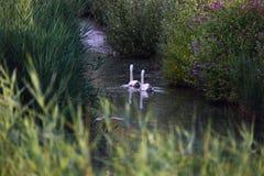 I cigni nella laguna Fotografie Stock