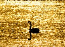I cigni soli che galleggiano in uno stagno con scintillio si accendono Fotografie Stock Libere da Diritti