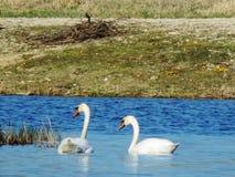 I cigni sta giocando nel lago immagini stock libere da diritti