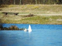 I cigni sta tuffandosi il lago fotografia stock