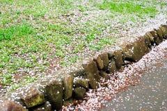 I ciliegi a Omiya parcheggiano, Saitama, Giappone in primavera Con i petali del fiore di ciliegia e di sakurafubuki sulla terra Immagini Stock Libere da Diritti