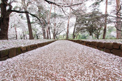 I ciliegi a Omiya parcheggiano, Saitama, Giappone in primavera Con i petali del fiore di ciliegia e di sakurafubuki sulla terra Fotografie Stock