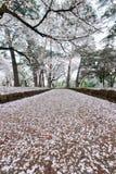 I ciliegi a Omiya parcheggiano, Saitama, Giappone in primavera Con i petali del fiore di ciliegia e di sakurafubuki sulla terra Fotografia Stock