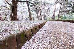 I ciliegi a Omiya parcheggiano, Saitama, Giappone in primavera Con i petali del fiore di ciliegia e di sakurafubuki sulla terra Fotografia Stock Libera da Diritti