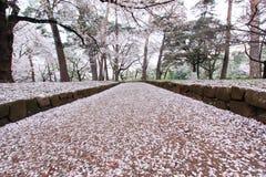 I ciliegi a Omiya parcheggiano, Saitama, Giappone in primavera Con i petali del fiore di ciliegia e di sakurafubuki sulla terra Fotografie Stock Libere da Diritti