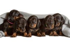 I cinque cuccioli adorabili del bassotto tedesco guarda fuori da sotto la coperta calda molle Prenda il sole a letto Nascondendos fotografia stock