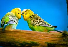 Budgerigar pair in Sattle Zoo royalty free stock image