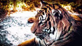Tiger in the Seattle Zoo stock photo