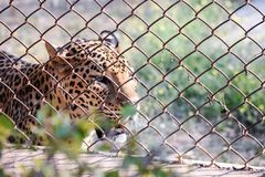 Jungle cat roaming around  for hunting. I clicked this picture at zoo park of wild cat also called Leopard.I clicked this picture while leopard roaming around Stock Photo