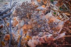 I closups piacevoli asciugano il Hortensia nel colore di seppia coperto di hoa bianco Fotografie Stock Libere da Diritti
