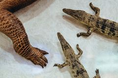 I coccodrilli morti appendono per decorare sulla parete fotografie stock libere da diritti