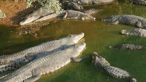 I coccodrilli si trovano pigro sulla riva del lago verde Azienda agricola del coccodrillo a Pattaya, Tailandia stock footage