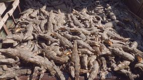 I coccodrilli sull'azienda agricola del coccodrillo sul lago Tonle fiaccano in Cambogia video d archivio