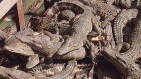 I coccodrilli sull'azienda agricola del coccodrillo sul lago Tonle fiaccano in Cambogia archivi video