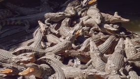 I coccodrilli sull'azienda agricola del coccodrillo sul lago Tonle fiaccano in Cambogia stock footage
