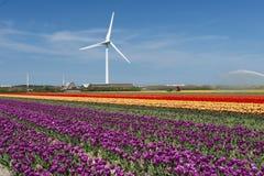 I colori dei campi del tulipano Immagini Stock